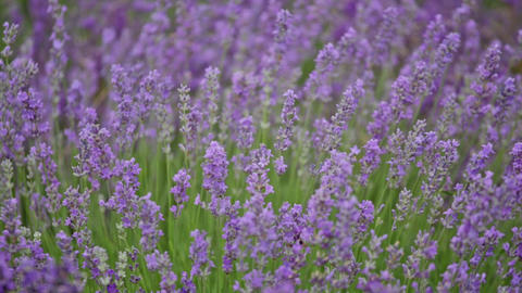 Blossoming lavender in the field in summer day Footage