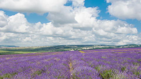 Big field of the blossoming lavender in summer day, timelapse Footage
