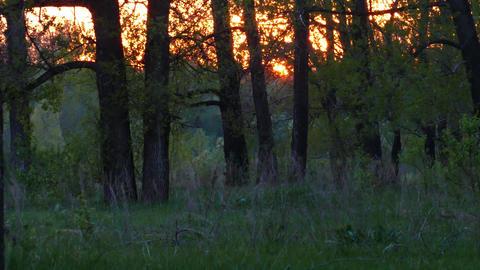summer forest landscape at sunset - timelapse, 4k Footage