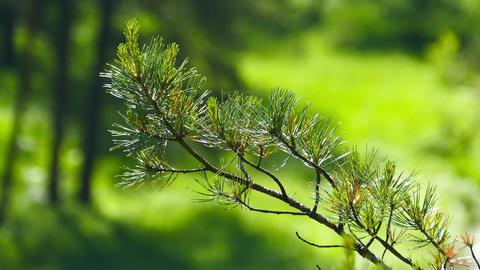 Siberian cedar branch closeup Footage