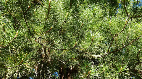 Siberian cedar branch closeup Stock Video Footage