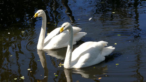pair of whooper swan on lake, 4k Live Action