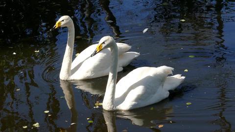 pair of whooper swan on lake, 4k Footage