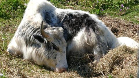 Yak lying on the grass, 4k Footage