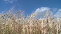風にそよぐ大麦 Footage