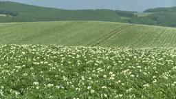 丘の上一面のジャガイモの白い花 Footage