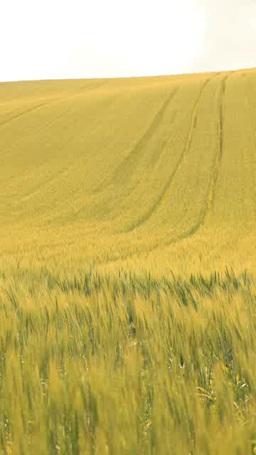 一面の小麦畑 Footage