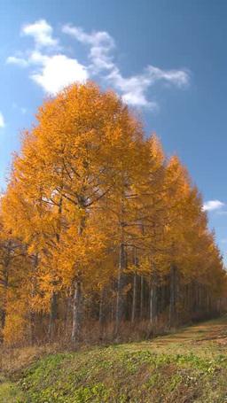 黄葉のカラマツ林 Footage