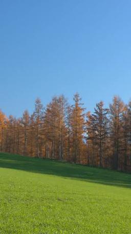 青空と黄葉のカラマツと緑の小麦畑 Footage