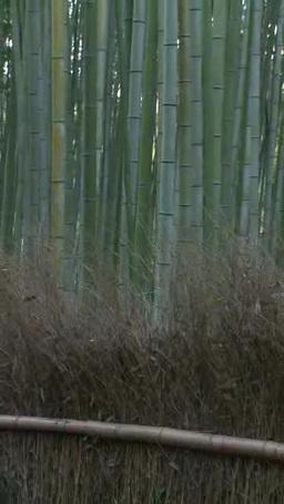 秋の竹林 Footage