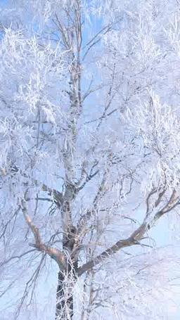 霧氷がついた一本の白樺 ภาพวิดีโอ