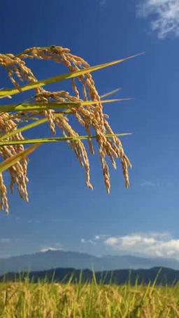 風に揺れるコシヒカリの稲穂と浅間山と烏帽子岳 Footage