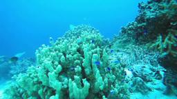 珊瑚礁とデバスズメダイなどの熱帯魚の群れ Footage