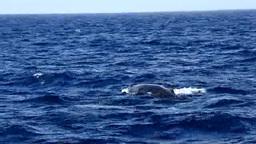 ザトウクジラの潮吹きとテールアップ Footage