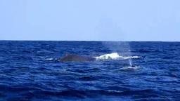 ザトウクジラのペアの潮吹き Footage