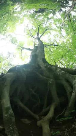 根を張る新緑のブナの大木 Footage