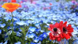 アネモネとカリフォルニアポピーとネモフィラの花畑 Footage