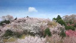 桜と桃などの花の林と流れる雲 Footage