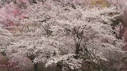 風渡るソメイヨシノなどの花の林 Footage