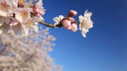 ソメイヨシノのアップとソメイヨシノ咲く並木と丘 Footage