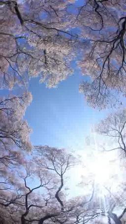 タカトオコヒガンザクラの林と木もれ日の光芒 影片素材