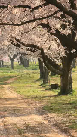 朝のソメイヨシノの桜並木 영상물