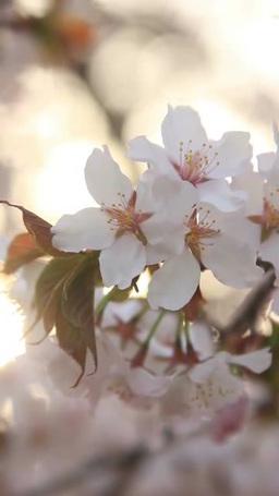 風に揺れる桜のアップ 朝 영상물
