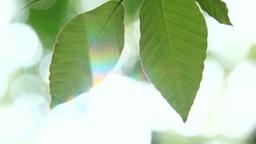風に揺れるブナの若葉と木もれ日 Footage