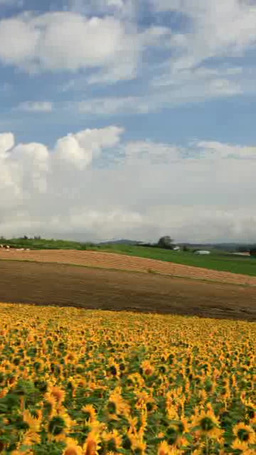ヒマワリ畑と小麦畑のロールバーム Footage
