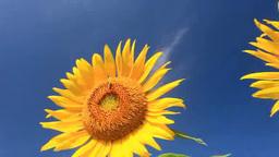 風に揺れるヒマワリとミツバチ Footage