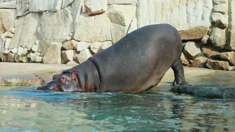Hippopotamus entering into water Footage