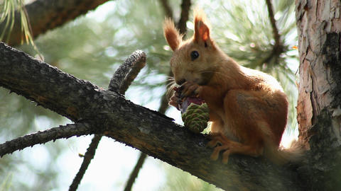 Squirrel 1 Stock Video Footage
