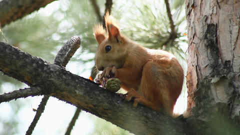 Squirrel 5 Stock Video Footage