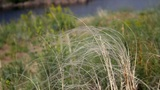 Feather Grass stock footage