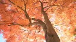 紅葉のモミジと木もれ日 Footage