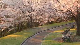 ソメイヨシノの樹林と遊歩道とベンチ 夕景 Footage