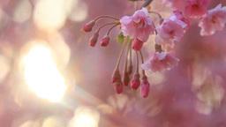 ベニヤエシダレザクラのアップと朝日の木もれ日 影片素材