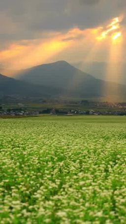 夕日の光芒と夫神岳などの山並みと花咲く蕎麦畑 影片素材