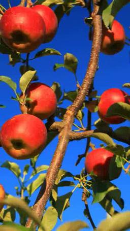 リンゴ 品種さんさ ภาพวิดีโอ