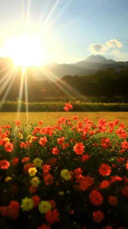 コスモスの花畑と常念岳と夕日の光芒 品種カーペットオレ Footage