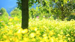 Cosmos flower garden Footage