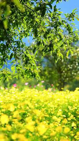 Cosmos Flower Garden stock footage