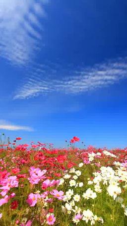 コスモスの花畑とうろこ雲 영상물
