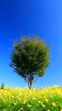 コスモスの花畑と木立 ภาพวิดีโอ