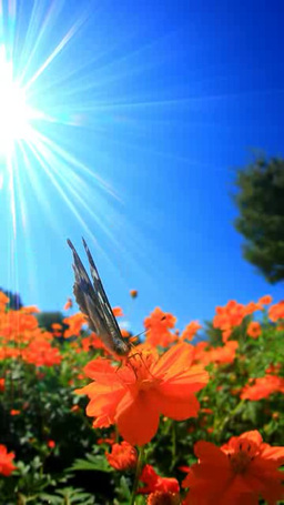 コスモスの花畑とメスグロヒョウモンのメスと太陽の光芒 영상물