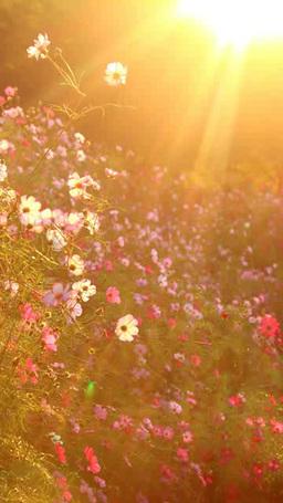 コスモスの花畑と朝日の木もれ日の光芒 影片素材