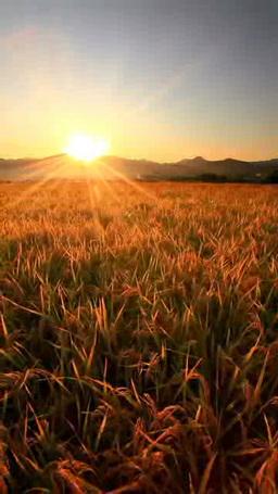 稲穂実る田園と夕日の光芒と夫神岳などの山並み 影片素材