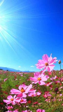 風渡るコスモスの花畑と太陽の光芒とミツバチ Footage