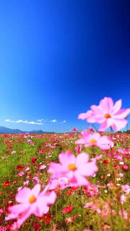 風渡るコスモスの花畑と子檀嶺岳などの山並み Footage