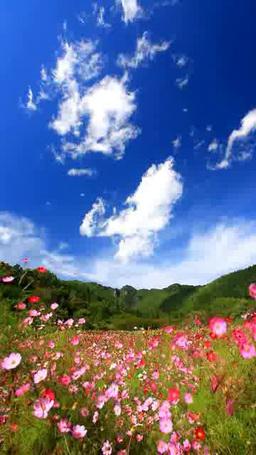 風渡るコスモスの花畑と独鈷山 Footage